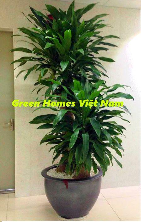 Cây thiết mộc lan gốc to - Green Homes Việt Nam