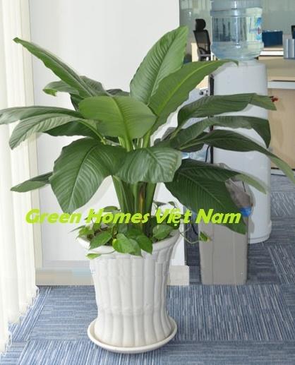 Cây lan ý mỹ - Green Homes Việt Nam