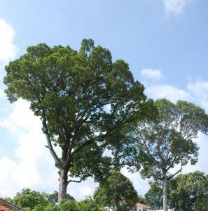 cây dầu nước-cay xanh cong trinh