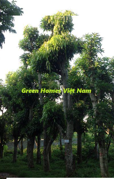 Cây xoài - Cây công trình Green Homes Việt Nam