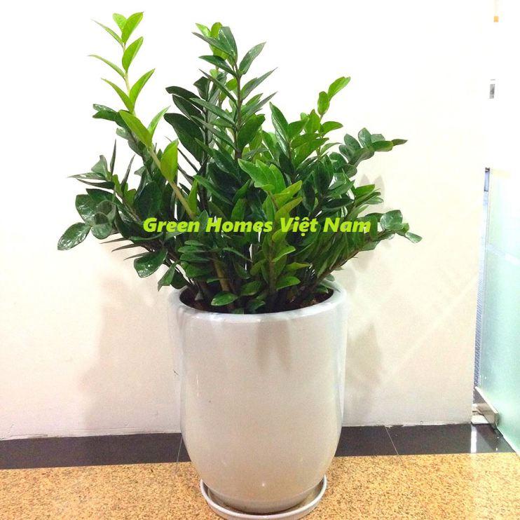 Cho thuê cây cảnh văn phòng - Cây Kim Tiền