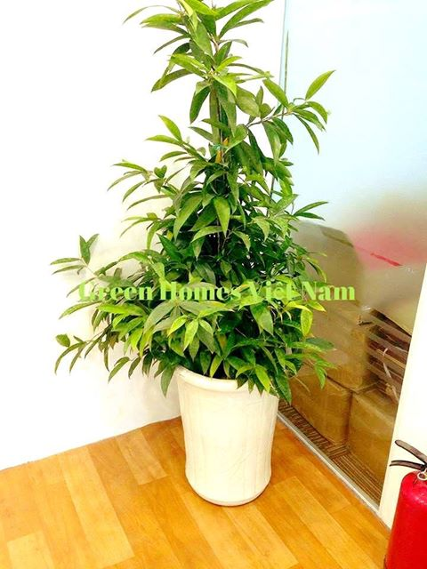 Cho thuê cây trúc nhật - Green Homes Việt Nam
