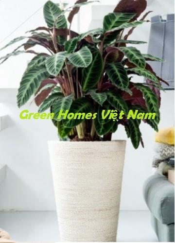 Cây đuôi công - Green Homes Việt Nam