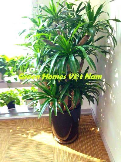 Cây đại lộc - Green Homes Việt Nam thuê cây cảnh
