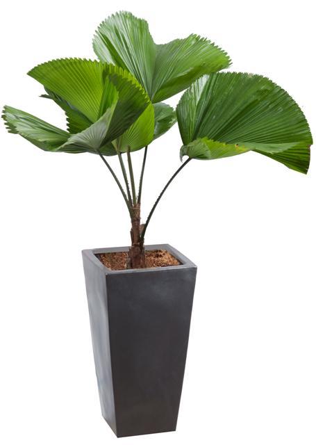Cây kẻ Nhật - cho thuê cây xanh