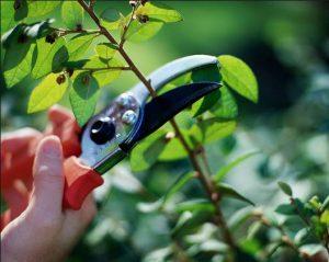 cắt tỉa cây cảnh